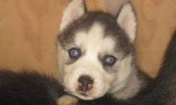 We have 3 purebread siberian husky pups looking for their homes this holiday season. We have 3 females .  females are blue eyed. They are great with kids of any age and make a great addition to any family. athey will go to their new homes with their first