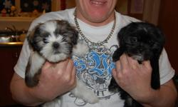 Mom is a Shih Tzu and Dad is a Tea Cup Yorkie!!! Born October 11 1 female BLACK with WHITE accents 1 Male WHITE and BROWN with some BLACK (NOW SOLD) Mom weighs 9lbs Dad weighs 5lbs Will come with first set of shots.   SOLD PUPPIES WILL BE MARKED SOLD,