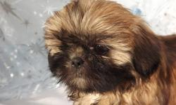 """""""BEAUTIFUL"""" Gold/Black Mask little girl. She is just like a Teddy Bear, real soft and cuddly. This sweety weighs 3.4 Lbs. Her body is very cobby, short little legs and you can see that her nose is very smooshie! She is a """"PUREBRED"""", she will be CKC"""