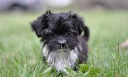 Havanese have excellent dispositions and are great with children and other pets. They are playful and spirited, yet gentle and cuddly too! They love attention!!! Our puppies are raised in our home with their parents, where they have room to play in a