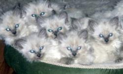 Beautiful blue eyed Himalayan Kittens 3 girls 2 boys.  Come with first vaccinations, vet check,deworming, kitten pkg. Sweet dispositions, loyal and loving.  You are welcome to come and view the kittens and pick your new baby or I will be delivering