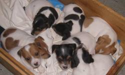 One male and two female Jack Russell Puppies are now ready to go to their new good homes.  Their tails have been docked and they have been vet examined, dewormed several times and immunized.  Vet papers will be included with the puppy. Delivery as far as
