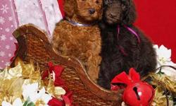 Ravishing Red and Chocolate Brown puppies ready to come home Spring 2012.   Now accepting deposits for our 2012 waiting list.   OUR PUPS COME WITH: * Extensive puppy package (owner's manual on training) * Tails and dewclaws done * Up to date vaccinations