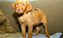 Pure breed red Labradors ready to go at Christmas first needle dewormed home raised 1000$ with papers 750$ without