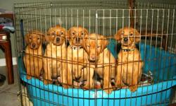 Pure breed red Labradors ready to go at Christmas first needle dewormed home raised 750$ 3 males left Located In North Bay
