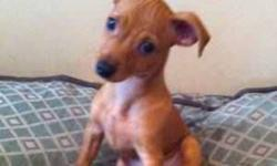 """13 week old ADORABLE red female min pin for sale She has had all of her second shots, dewormed, defleated, kennel cough - perfectly healthy She is potty trained already! She always wants to snuggle and cuddle up to you, and already knows """"sit"""" and is well"""