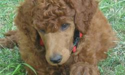 CKC Registered Stunning Rare Red Standard Poodle Pups Available. Pups have their Natural Tails. They are fun loving little puppies and they are ready to go to their new homes. 1 Male & 3 Females Available www.delphiholdings.com p.s. It sounds like our