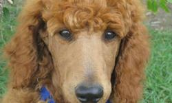 CKC Registered Stunning Rare Red Standard Poodle Pups Available. Pups have their Natural Tails. They are fun loving little puppies and they are ready to go to their new homes. 1 Male & 2 Females Available www.delphiholdings.com