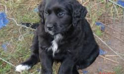Golden crossed with Bernese puppies.  First shots, raised with children on a farm, quick learners,ready for their new homes.  Mom and dad are family pets and availabe to see. Call or e-mail if you have any questions 403-843-3043  only 2 girls left when