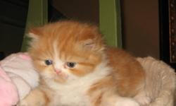 NEED TO SAVE $ ON A PURE PERSIAN KITTEN? L@@K HERE!! THIS LITTLE PERSIAN MALE IS USUALLY $500, NOW ON SALE FOR $150 OFF SO NOW ONLY $350. (ONLY BECAUSE WE ARE EXPECTING MORE NEW LITTERS VERY SOON, IS WHY HE IS REDUCED). *IF AD IS RUNNING, I STILL HAVE HIM