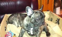 C.K.C Registered French Bulldog puppies,  2 boys(non-breeding) available to approved home. Vaccinated,Vet Checked,Health Gauranteed. Established breeder of healthy hardy Frenchies with substance, Companion & Show potential puppies available on occassion.