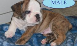"Rare, Reg. English/British Style Bulldog pups      Solid brindle little white male pups w/Black Masks               1- Solid Dark Red/Brindle Female                   Dam is a ""Rare"" Red Sable Female.  Also includes pics of upcoming breedings."