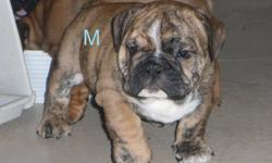 """Rare, Reg. English/British Style Bulldog pups      Solid brindle little white male pups w/Black Masks               1- Solid Dark Red/Brindle Female                   Dam is a """"Rare"""" Red Sable Female.  Also includes pics of upcoming breedings."""