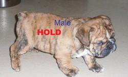 "Rare, Reg. English/British Style Bulldog pups                Solid brindle little white male pup               1- Solid Dark Red/Brindle Female                   Dam is a ""Rare"" Red Sable Female.               Upcoming 2012 Breedings include          The"