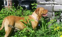 Regal Rouge Bordeaux is Now Taking Reservations for  Feb 2012 Litter   If interested in up-coming Litter please call or e-mail for further details.   Based in Innisfil, Ontario, Canada We are a small Hobby Kennel. We breed for Confirmation and Character.