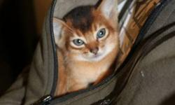 Reg'd Abyssinian kittens. 4 kittens born September 29th from show quality parents. Kittens ready to go now. Kittens have their first  set of vaccines, de-wormed, vet checked, health guarantee. Beautiful family raised kittens from a loving adults that are