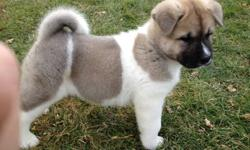We have available four Akita puppies (two male and two female) to approved homes.  Our puppies come with a three year written health guarantee for genetic defects, are microchipped, vaccinated and current on dewormings including heartworm prevention.  All