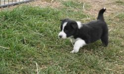 Males and Females availible.  Exceptionally well bred puppies.  Dam is Susan Neal's Jen.  Jen goes back to Abe Marshall's Meg X Jim,  Jen is an exceptional stockdog and can be seen working. She has also been trialed.  Her lines go back to National and