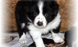 Bred with health, temperament and looks in mind these puppies will become an asset to your family. Breeder has 15+ years experience breeding champion Border Collies and is registered with the Purnia Pro. Club. Puppies are sold with a puppy kit which