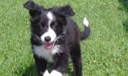 B/W male border collie puppy, last of his litter. Very smart, social, bold little fella. Learning sits, downs, hand touches. Crate trained. Parents and Grand parents on site, active in dog agility or retired from dog sports. Excellent temperment. Parents