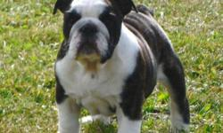 Registered British/English Bulldog pups.  and One Registered English Bulldogge puppy. *******    TO NON-BREEDING FOREVER PET HOMES ONLY.  Comes with puppy packs and support literature. All pups leave with Vet health certificate and first set of booster