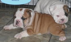 Reg. English Bulldog Pups                      AND ALSO       English/British Style Bulldogge pups       TO NON-BREEDING FOREVER PET HOMES ONLY.       Come with puppy packs and support literature.            All pups leave with Vet health certificate,