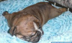 """Registered English/British Style Bulldog pups   TO NON-BREEDING FOREVER PET HOMES ONLY.             3- """"RARE"""" Solid brindle Male pups w/Black Masks                        1- Red sable male with full black mask            1- """"Very rare"""" Solid"""