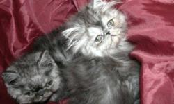 We welcomed Sterling and Silvermist 2 adorable smoke kittens born to Demiasis and BlackJack at the end of June. Catwalk Purz is a cageless cattery where our fur family are all raised underfoot around children. We are proud of the health of our kittens and