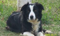Bobby is a very sweet little girl, she is registered with the Canadian Border Collie Association as well as the CKC. She has had 2 litters of puppies with me but I have decided I do not have enough time right now to devote to breeding and need to find my
