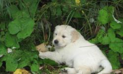Golden Retriever puppies raised in a loving home environment. CKC registered, First set of vaccinations, De-wormed, Tattooed or Micro-chipped, vet checked and fully weaned. Males and females available. please contact Michelle Please note>>>>older puppies
