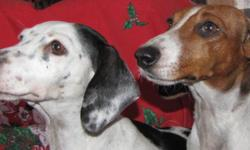"""Meet Audrey.She is on the left She is a quiet girl with a great love for people. She loves to be with you or run outside on the acreage. Audrey is a registered purebred mini dachshund, and her color is called """"piebald"""". She has been a breeding female in"""