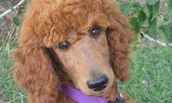 CKC Registered Stunning Rare Red Standard Poodle Pups Available. Pups have their Natural Tails. They are fun loving little puppies and they are ready to go to their new homes. One Gorgeous Female Available. www.delphiholdings.com