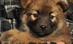 HEART dog rescue has received 6 puppies off of the Hobema reserve in Edmonton. Their lineage is unknown, but they appear to be shepherd crosses. They are currently 7 weeks old and will be ready for adoption next weekend. We have 3 boys and 3 girls,