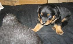 3 left pur bread german rotti pupps , looking for homes soon 1 male 2 females tail and claws are done good tempermentplease call no internet access 3 pupps available 450 each 8 weeks old ready to go home 226 235 1041