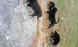 Only 3 males left blk/tan parents on site .. very big puppies This ad was posted with the Kijiji Classifieds app.