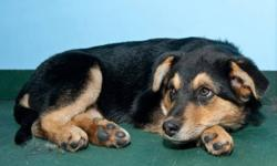 """""""PINKY TUSCADERO"""" is approx. 4 month female Rotti/Shepherd X puppy. Found as a stray. Very sweet, super with other dogs/cats. She will make a great companion to your family! Adoption fee includes spay, 3 sets of distemper/parvo vaccination, rabies"""