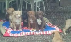 11 pups left only serious inquiries please contact kathryn by phone or txt 7788094598 if you would like to more about the breed or pups please call only! The last 2 pictures are the dad and mom