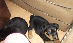 All other pups are spoken for only one left. Mom and Dad both rotties available for viewing before buying puppy. Puppy 8 weeks ready to go December 8th.Tails docked. Vet checked first shots and deworming up to date.$600 obo.