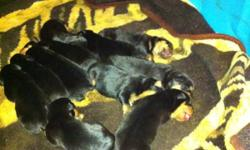 I have 12 Rottweiler puppies that were just born on oct 3 2011 .. I have 1 female and 8 males that will be ready to go at the end of November .. They have there tails docked and both set of dew - claws removed already .. They go to the vet on November 14
