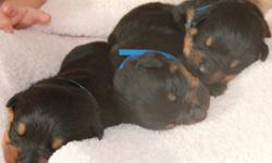 Northstar Kennels is pleased to announce the arrival of our newest litter of Rottweiler puppies born January 17, 2012 We are a licensed and registered breeder and a member of the Edmonton and area BBB and the CKC. * All of our puppies come with a 1 year