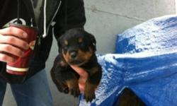 I have 7 out of 10 little german rottie pups left and ready to go christmas eve 4 boys 3 girls. Mom is 2 years old at 100 pounds and dad is 3 years at 130 pounds. Both mom and dad are family pets. puppy's have tails docked and dew claws done and will have