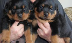 CKC registered Rottweiler pups. Both sire and dam have good hips, hearts and elbows with strong blood lines. The litter has been socialized and family raised in our home with kids. The tails have been docked and they are micro chipped and registered with