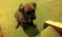 I am selling my rottweiller puppy that is a rare brown colour ....her mother is a half boxer... she is very calm and nice very friendly and very intelligent  i cannot keep her since i have to leave my house ... I am looking for a GOOD HOME for her to go