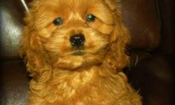 Sadie is our last of litter Beautiful Dark Apricot, First Generation Cockapoo Puppy available. Maturing weight between 20 ? 25 lbs full grown, she will have a nice wavy, non shedding, allergy friendly coat. She is Vet Checked, Vaccinated and Dewormed and