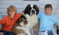 Argo and Storm are the proud parents of 3 adorable boys and 6 beautiful girls. Both parents are amazing with children. Argo is a purebred Saint bernard. He loves to be wherever we are. Storm is a purebred Great Pyrenees. She loves to run and play with the