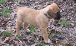 We have 9 beautiful Saint Berxers that are waiting for their new homes.   This is Molly & Mason's 3rd and final litter and if you ask the parents from their 1st two litters they will tell you how amazing these dogs are. Gentle, obiedient, playful...great