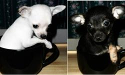 Short Hair Females The (teacup) white/cream pup should be 2-2.5 pounds full grown.  The black/brown pup should be 4 pounds full grown.  These pups come Vet checked, dewormed, with their 1st shots, a small bag of puppy food & a dog blanket.  They have been