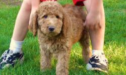 Love the Golden Retriever .... but too large....to much shedding?   Introducing our Last of Litter Beautiful Little Male Comfort Retriever (sometimes known as Mini Retriever)   Sammy is a cross between a Golden Retriever and an American Cocker Spaniel