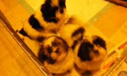 four beautiful purebred schitzu puppies ready in a few days   have both parents  first shots deworm and vet check incl all in great health 1 boy  3 girls   2 black and white   2 brown and white   responsible persons who understand fully the  comittment