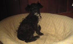 Beautiful, family raised, first generation cross, non-shedding and hypoallergenic puppy available for immediate adoption. . Mom is Purebred Min. Schnauzer, and the Dad is the purebred mini poodle.  Vet checked, first vaccinations, dewormed twice, first